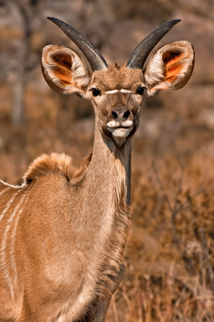 antelope close-up